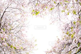 花,春,桜,満開,八重桜,ピンク色,文字スペース,コピースペース,春の花,ヤエザクラ,縁どり
