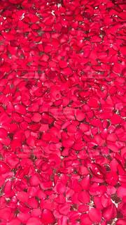 赤,バラ,花びら,薔薇,紅,豪華,ばら,全面,艶やか,真紅,赤い花びら,真紅の花びら