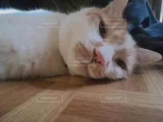 猫,動物,屋内,白,茶色,床,お昼寝,木目