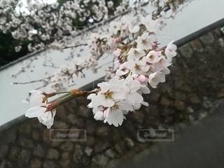 桜の写真・画像素材[3069224]
