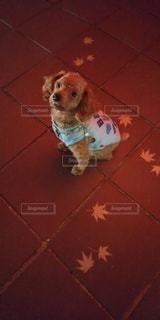 犬,動物,紅葉,赤,オレンジ,ペット,床,地面,トイプードル,宮島