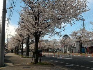 花,春,桜,木,屋外,道路,樹木,お花見,道,イベント,歩道,通り,日中,さくら