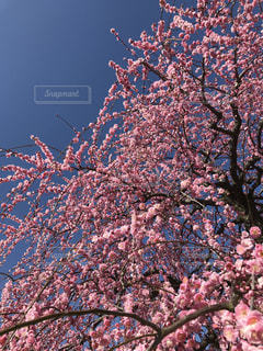 花,屋外,梅,樹木,梅の花,草木,梅花,梅と空