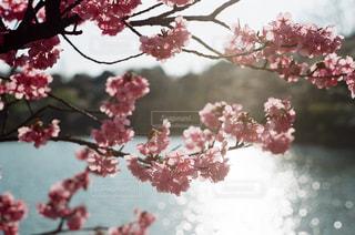 風景,公園,花,春,枝,レトロ,古い,写真,フィルムカメラ,草木,桜の花,オールド,さくら,ブロッサム