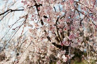 フィルムカメラで撮影した桜の写真・画像素材[3032688]