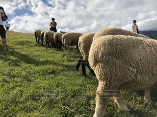 風景,空,動物,屋外,緑,草原,羊,牧場,景色,草,整列,並ぶ,おしり,ファーム