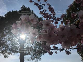 春,桜,太陽,樹木,ブロッサム