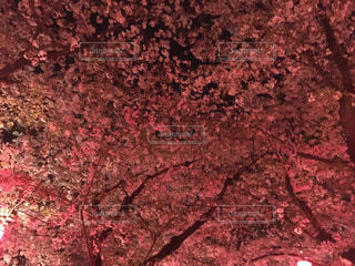 風景,桜,花見,夜桜,満開,桜吹雪