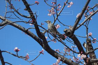 空,桜,鳥,樹木,鎌倉