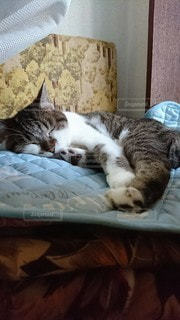 猫,動物,屋内,寝転ぶ,寝る
