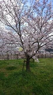 空,公園,花,春,屋外,サクラ,樹木,草木