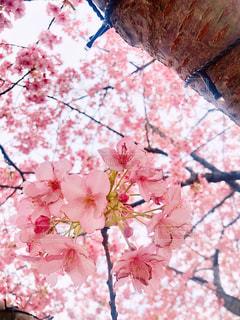 春,ピンク,樹木,桜の花,さくら,ブルーム,ブロッサム