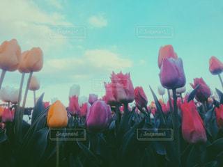 空,花,チューリップ,鮮やか,色とりどり