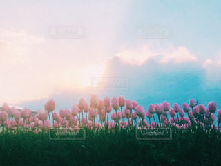 自然,空,花,春,群衆,屋外,ピンク,チューリップ