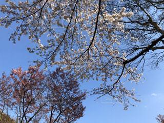 風景,空,春,桜,梅,青空,青