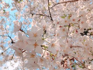 1人,公園,花,春,晴天,お花見,近所,桜の花,さくら,ブロッサム