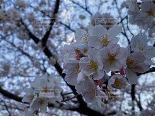 公園,花,春,桜,お花見,近所,桜の花,さくら
