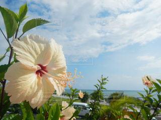 海,空,花,屋外,ハイビスカス,沖縄,旅行,草木