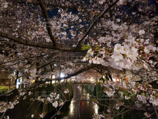 花,春,桜,夜桜,樹木,お花見,川沿い,中目黒,ブロッサム
