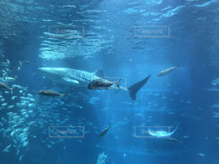 魚,水族館,水面,泳ぐ,水中,海遊館,サメ,ジンベイザメ