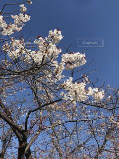 空,花,春,屋外,青い空,樹木,桜の花,さくら,ブロッサム