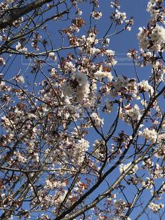 空,花,春,枝,樹木,草木,桜の花,さくら,ブロッサム