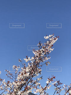 空,桜,屋外,樹木,草木