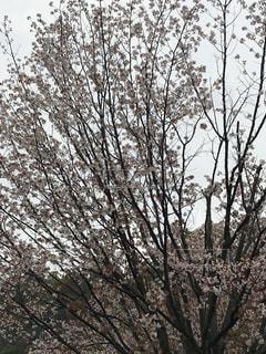 空,桜,屋外,曇り,樹木