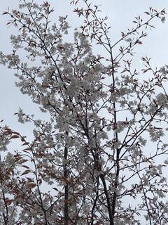 風景,空,花,桜,屋外,樹木,くもり,ブロッサム