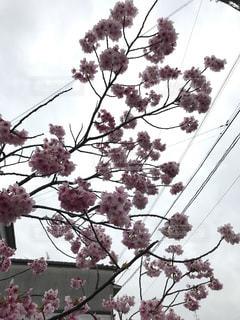 空,春,曇り,樹木,桜の花,さくら,ブロッサム