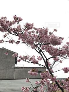 花,春,樹木,さくら,ブロッサム