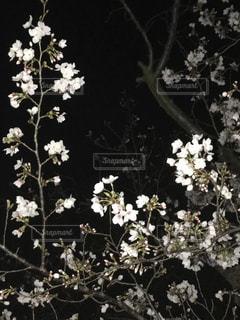 花,桜,夜,夜桜