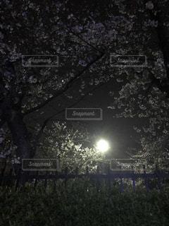 桜,夜,夜空,屋外,夜桜,樹木