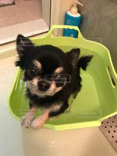 犬,動物,チワワ,屋内,かわいい,黒,お風呂