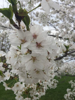 花,春,白,樹木,草木,桜の花,さくら,ブルーム,ブロッサム