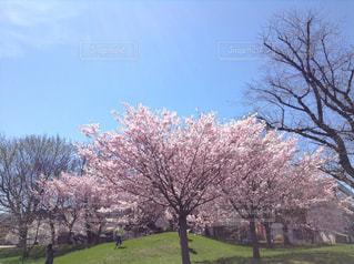 空,花,春,屋外,緑,景色,草,樹木,草木,桜の花,日中,さくら,ブロッサム