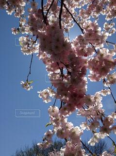 花,春,青い空,鮮やか,樹木,たくさん,草木,桜の花,さくら,ブルーム,ブロッサム,ぶら下げる