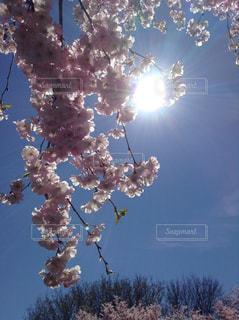 空,花,春,太陽,青い空,満開,草木,ブロッサム