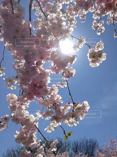 風景,空,花,春,青い空,鮮やか,樹木,たくさん,草木,桜の花,さくら,ブルーム,ブロッサム,ぶら下げる