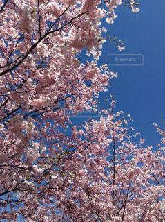 花,春,屋外,ピンク,青空,樹木,草木,桜の花,さくら,ブロッサム