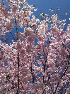 花,春,屋外,ピンク,青空,樹木,快晴,草木,桜の花,さくら,ブルーム,ブロッサム