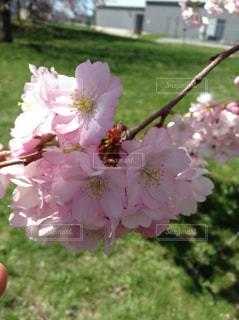 花,屋外,ピンク,景色,花びら,ブルーム,ブロッサム