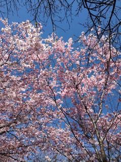 空,花,春,屋外,満開,樹木,草木,桜の花,さくら