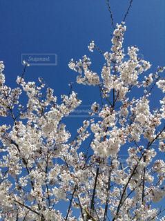 花,春,屋外,白い花,樹木,空気,草木,桜の花,さくら,ブロッサム