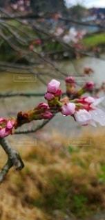 花,春,桜,屋外,ピンク,花見,蕾,草木,ブルーム,ブロッサム,フローラ