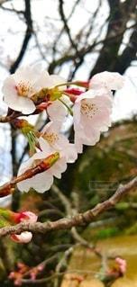 花,桜,屋外,枝,花見,入学,草木,ブルーム,ブロッサム,支店,フローラ