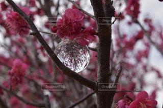 花,春,ピンク,梅,大盃