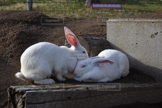 動物,屋外,白,癒し,動物園,ウサギ