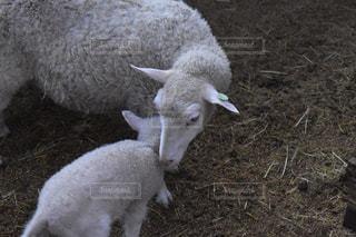 動物,羊,赤ちゃん,可愛い,家畜,子羊