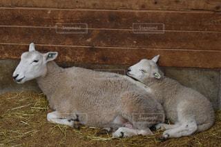 草の中に横たわる羊と子羊の写真・画像素材[3033461]
